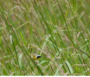 Common yellowthroat in field-edge grasses. Photo courtesy of Dr. John Marzluff