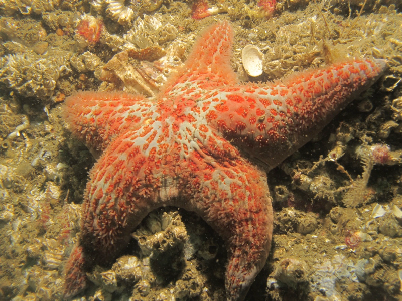 Figure 1. Preliminary impressions from these 100 surveys suggest that leather sea stars (shown here at Hick's Bay Wall on 9/20/16) continue to be abundant after the sea star wasting disease outbreak.